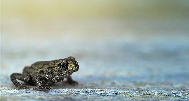Frog, Small, Macro, Bokeh, Animal World, Amphibians