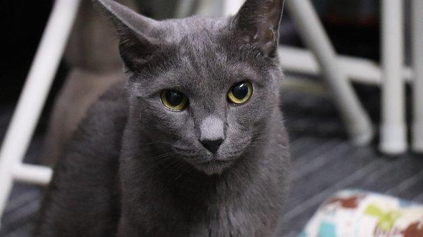 Cat, Russian Blue, A Brooks, Cats, Cute