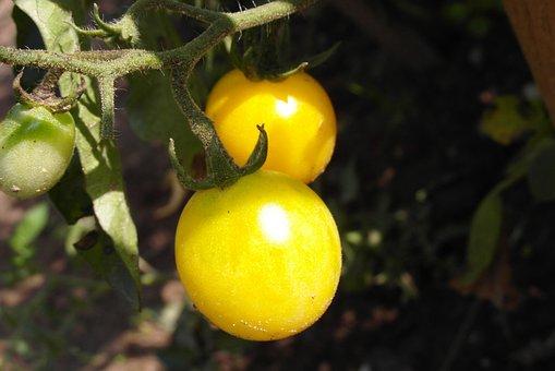 Tomatoes, Cocktail, Garden, Yellow
