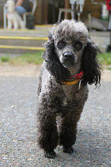 Poodle, Miniature Poodle, Dog, Bitch, Creature, Nice