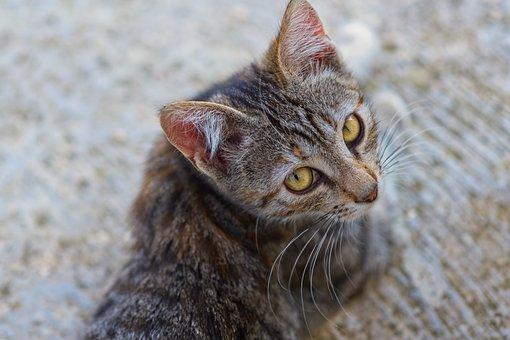 Cat, Pet, Look, Kitten, Feline, Animal, Head, Face