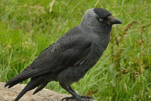 Jackdaw, Crow, Bird, Feathers, Animal, Plumage, Feather