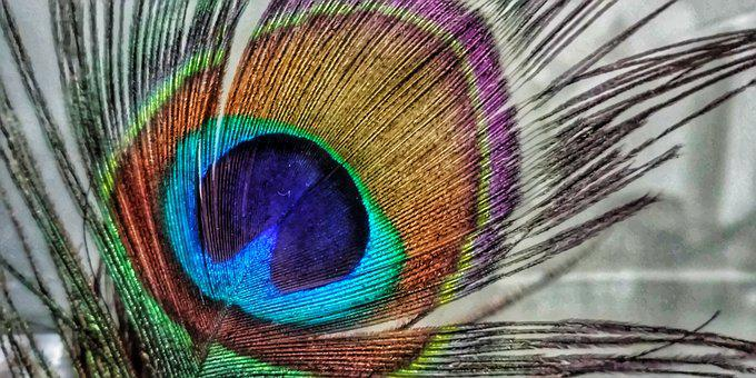 Indian, Peacock, Feather
