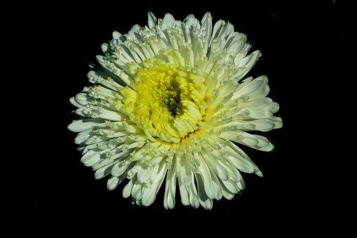 Flower, Aster, White, Garden, Nature, Summer