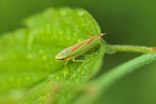 Grasshopper, Green, Wet, Leaf, Close Up, Insect, Nature