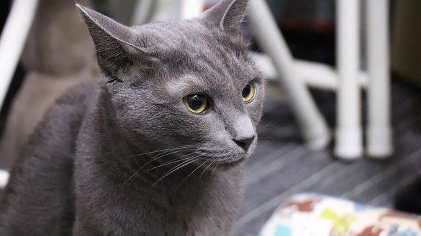 Cat, Russian Blue, A Brooks, Grey, Cats