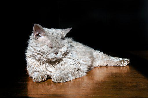 Cat, Animal, Sheep Cat, Selkirk Rex, Lilac, Ground
