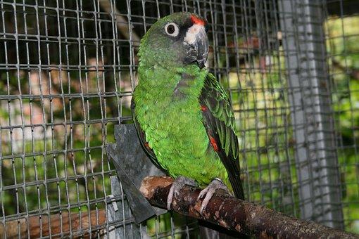 Jardine's Parrot, Bird, Parrot, Poicephalus, Gulielmi