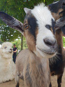 Goat, Close Up, Mammal, Funny, Animal World, Nature