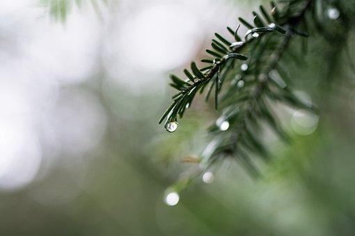 Drip, Rain, Fir Tree, Branch, Nature, Forest, Evergreen