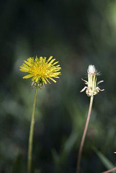 Dandelion, Weeds, Flowers, Summer, Nature, Yellow, Wild