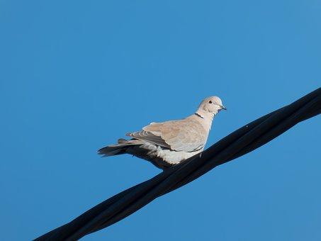 Dove, Pigeon, Bird, Nature, Wings, Plumage, Wildlife