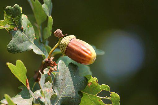 Acorns, Brown, Oak Leaves, Tree, Autumn, Leaves, Nature
