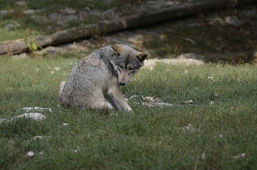 Wolf, Pack, Predator, Wolves, Nature, Wild Animal