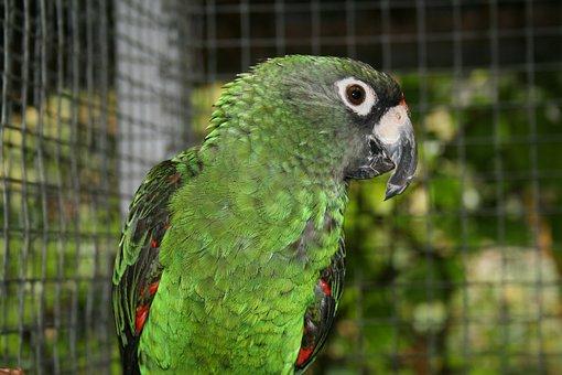 Jardine's Parrot, Bird, Parrot, Animals, Nature