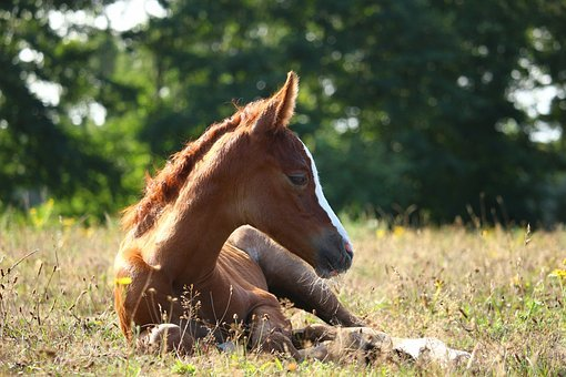 Foal, Filly, Horse, Fuchs, Mare, Pasture
