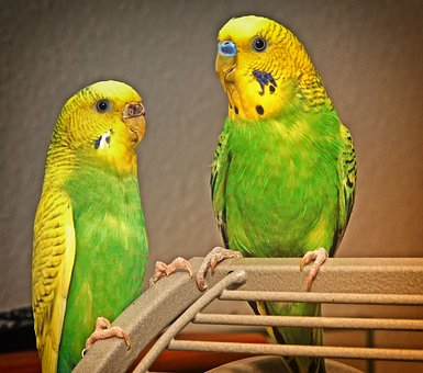Budgie, Pair, Birds, Animal World, Parakeets, Pets