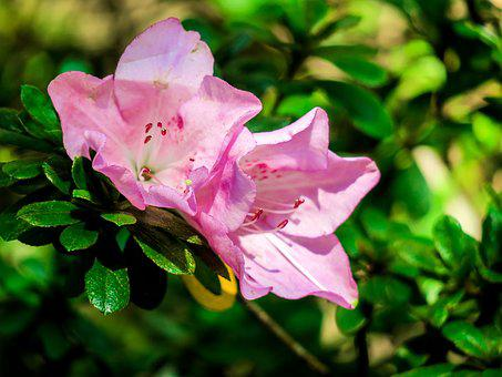 Rhododendron, Nature, Flower, Leaf, Plant, Outdoor