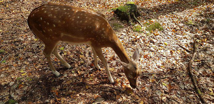 Nature, Animal, Forest, Roe Deer, Fur, Fawn