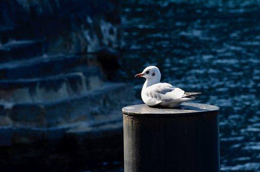 Seagull, Seevogel, Bird, Water Bird, Dormant, Lake