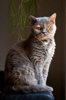 Cat, Elegant, Sitting, Animal, Selkirk Rex