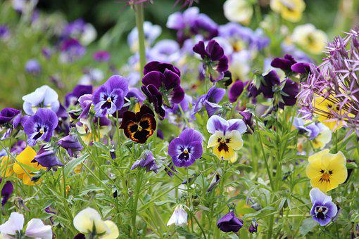 Pansies, Violet, Viola Tricolor, Summer Flowers