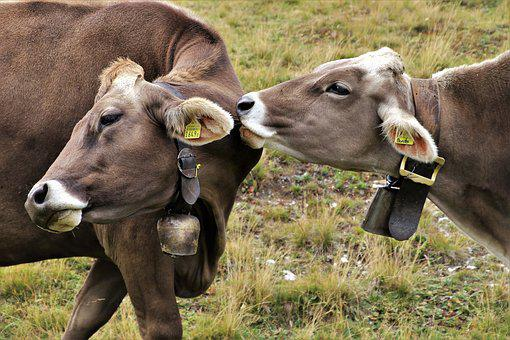 Cows, Alpine, Para, Total, Animals, Pasture Land