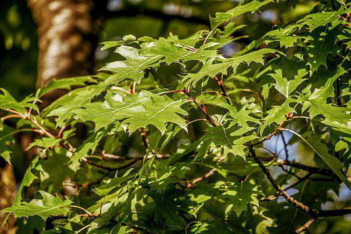 Scarlet Oak, Tree, Flora, Botany, Plant, Leaves