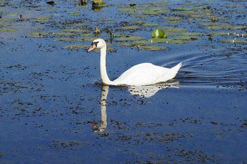 Swan, Bird, Water, Lake, Water Bird, White, Blue