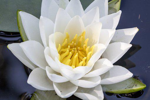 Lotus, White Flowers, Pond, Water Lilies, Beautiful