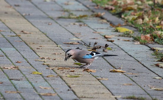 Jay, Bird, Animal, Garrulus Glandarius, Wild