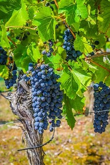 Wine, Grape, Winegrowing, Vine, Grapevine, Grapes