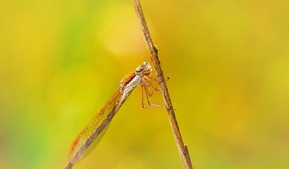 Zimówka Rudawa, Dragonflies Równoskrzydłe