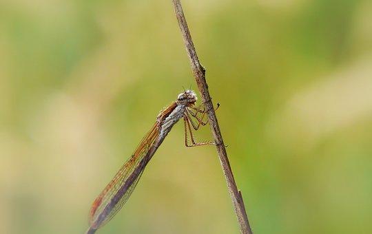 Zimówka Rudawa, Dragonflies Równoskrzydłe, Insect