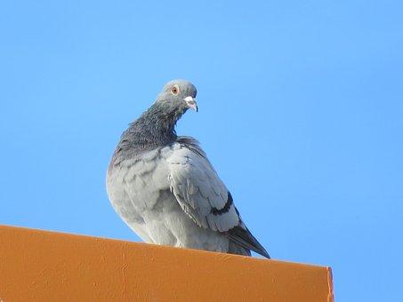 Pigeon, Nature, Animals, Birds, Air