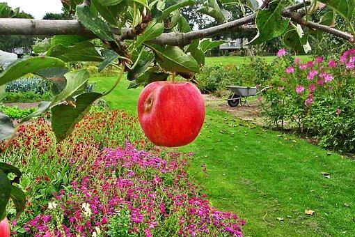 Apple, Red, Branch, Apple Tree, Garden, Farm, Ripe