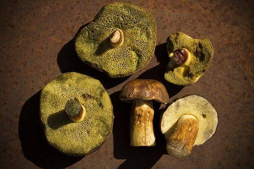 Mushrooms, Chestnut Röhling, Hexenfuß Boletus, Autumn