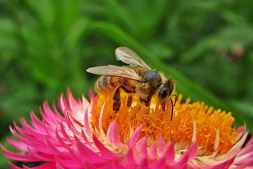 Bee, Bees, Pollen, Flower, Bug, Golden, Pollination