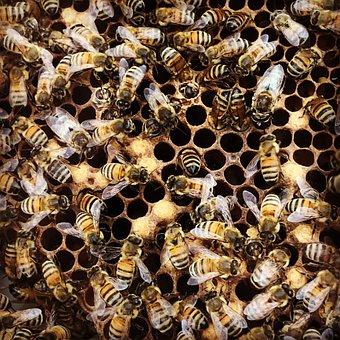 Bees, Honey Bee, Hatching
