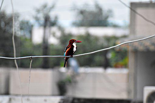 Brown-hooded Kingfisher, Bird, Kingfisher, Perched