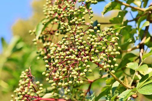 Elder, Holder Bush, Black Elderberry, Elderberries
