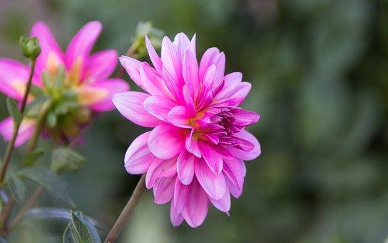 Dahlia, Bright, Beauty, Blossom, Bloom, Close Up