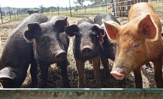 Pigs, Hogs, Animals, Snout, Hog, Swine, Boar, Pork