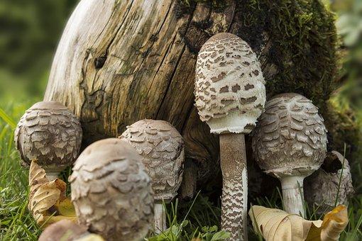 Mushrooms, Boletes, Autumn, Forest, Mushroom, Nature