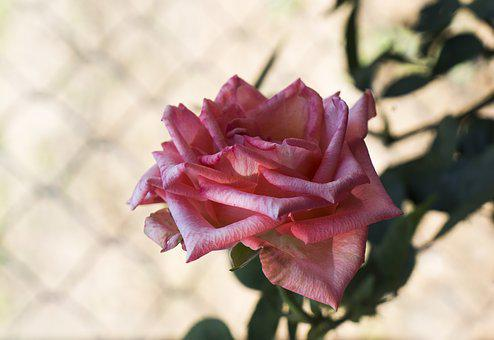 Roses, Many Wings, Brilliant, Pink Orange