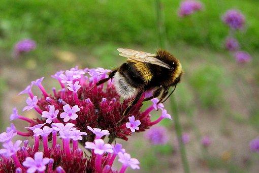 Bumblebee, Bug, Pollen, Pollination, Flower, Pink
