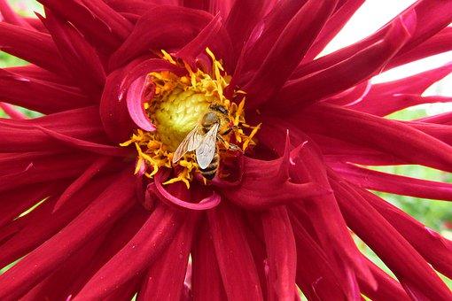 Dahlia, Red, Flower, Bee, Pollen, Bug, Summer, Petals