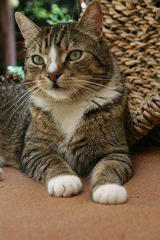 Cat, Mackerel, Domestic Cat, Pet, Tiger Cat