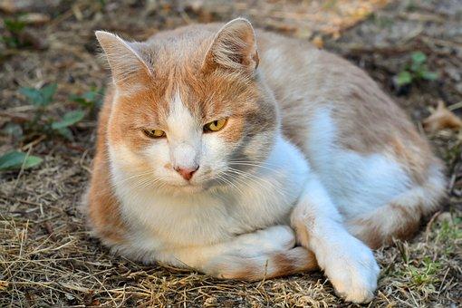 Cat, Lying, Feline, Soil, Outside, Animal, Roux, White
