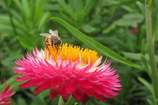 Xerochrysum Bracteatumm, Bee, Pollen, Coloured, Pink